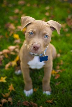 Adorable pitbull puppy. The cutest