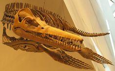 Trinacromerum on display at the Royal Ontario Museum, Toronto.