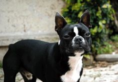 PISA: SMARRITO RASTA, CANE BOSTON TERRIER NERO E BIANCO http://terzobinario.blogspot.it/2014/02/pisa-smarrito-rasta-cane-boston-terrier.html