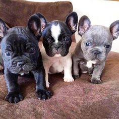 What colors are your frenchies? Follow @mycutestfrenchie for more Tag your friends by @ronnie_sdbullies Tag #mycutestfrenchie in your posts for chance to be featured! . . . . . . . #frenchiesofinstagram #bulldogingles #frenchbulldogs #frenchiepup #bulldog_ig_community #instafrenchie #bulldoglife #bullylife #cutedog #bulldogsofinstagram #frenchies1 #bulldogfrancese #bulldogsofig #bullys #bulldogs #frenchiestagram #bullylifetv #ワンコ #loveabully #bully #frenchiephotos #bullygram #bullyworld…