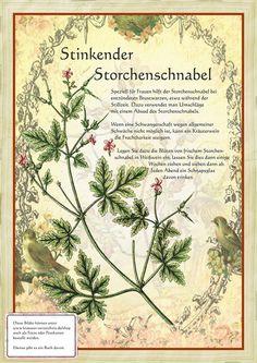 Stinkender Storchenschnabel http://www.kraeuter-verzeichnis.de/