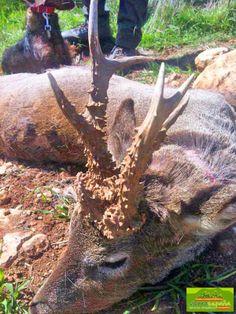 Roe deer hunted with Sierra España Servicios Cinegéticos (2013).