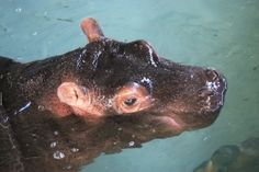 A baby Common Hippo made a splashing debut at Zoological Society of London's (ZSL) Whipsnade Zoo by taking a dip in the public pool for the very first time.  See photos and video at ZooBorns: http://www.zooborns.com/zooborns/2014/01/hippo-whipsnade.html