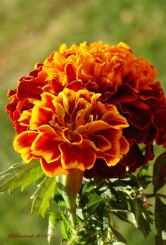 French Marigold by Silvia Sandrock