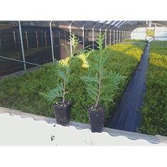 """Green Thuja Giant Arborvitae Best Plant Tree - 3"""" Pot 6-12"""" in Height Garden New #ThujaGreenGiantArborvitae"""