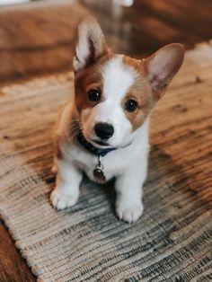 Welsh corgi - noun : a short-legged long-backed dog with foxy head of either of two breeds of Welsh origin: a : cardigan welsh corgi b : pembroke... Cute Corgi Puppy, Corgi Mix, Cute Puppies, Dogs And Puppies, Baby Corgi, Teacup Puppies, Corgi Puppies, Baby Animals Super Cute, Cute Baby Dogs