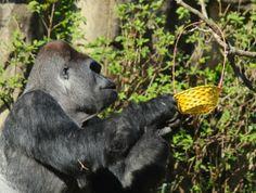 Searching for eggs at Gorilla World at Cincinnati Zoo