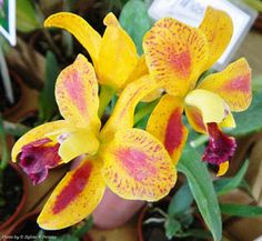 Blc. Nobile's Pop