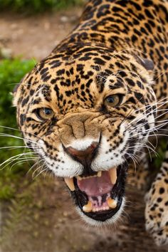Jaguar by Patrick Walker