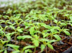 La ce distanţe se plantează răsadurile de legume   Paradis Verde Paradis, Salvia, Joy, Agriculture, Green, Plant, Sage, Glee, Being Happy