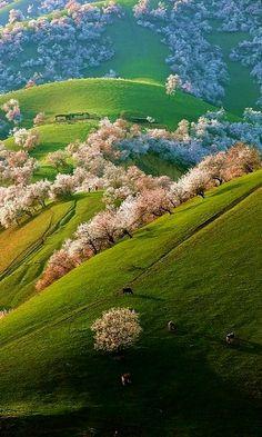 Spring Apricot Blossoms, Shinjang, China
