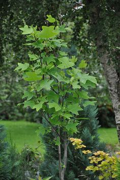 #Tulipantre - Liriodendron... http://golfdriverreviews.mobi/golfpictures/ Bo Van Pelt (born May 16, 1975) is an American professional golfer who has played on both the Nationwide Tour and the PGA Tour.