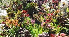 Déjate fascinar por las peculiares flores de las bromelias
