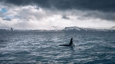 Credit to : The Orca – Olafsvik, Iceland – Travel photography – All Pictures More Pictures, Most Beautiful Pictures, Iceland Travel, World Best Photos, Whale, Travel Photography, Vacation, Explore, Gallery
