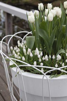Hvite+tulipaner+Tulipa+og+perleblomster+Muscari.JPG (512×768)