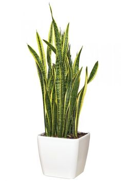 PLANT Mother-in-Law Tongue or Snake Plant from Colonial House of Flowers