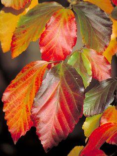 Parrotia persica 'Vanessa' (fall color).
