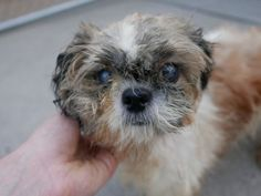 SAFE--- Anarchy Animal Rescue  TO BE KILLED 8/21/2015-Darling very sweet little 11 pound Shih Tzu gal Melly may be around 15 years old but she is still full of life & spirit.Brooklyn Center – P  My name is MELLY. My Animal ID # is A1048100. I am a female white and tan shih tzu mix. The shelter thinks I am about 15 YEARS old.