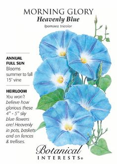 """Annual. Blooms summer to fall. 15' vine. Full sun. 4""""""""-5"""""""" vibrant blue blooms…"""