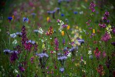 Wild flower field Golden Acre Park Leeds