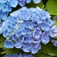 Best Blue Flowers for Your Garden