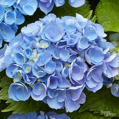 Shades of cool blue look lovely in any garden. Not sure which plants to grow? Try growing some of our favorite blue-hued blooms! We recommend blue hydrangea, grape hyacinth, clematis, bellflower, salvia, morning glory, and more.