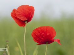 Poppys by Diana K on 500px