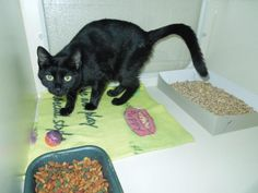 Meet Gemma, a Petfinder adoptable Domestic Short Hair-black Cat | Elizabethtown, KY | Please DO NOT take our pictures and list on another site. It makes it very hard on us at the...