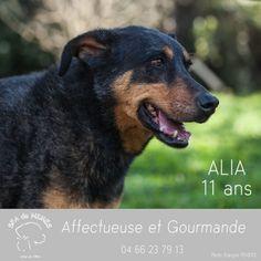 ALIA (SPA de Nîmes), mamie beauceronne à adopter, en urgence vétérinaire