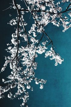 white blossoms by Ingrid Beddoes on Artfully Walls