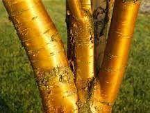 """Résultat de recherche d'images pour """"prunus amber beauty"""""""