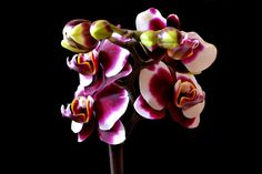 Little Kolibri Orchid by paul8620.deviantart.com on @deviantART