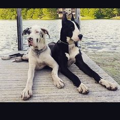 gallifrey_danes I love these two #greatdane #greatdanes #greatdaneservicedog - Looktagram