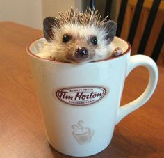 How cute is this tea-loving hedgehog? One cup of Jawn. Why is it Jawn? It could be John, Juan, Jon, but the 'w' looks weird! Obviously this is a Canadian hedgehog.in a 'Tim Horton's Coffee Mug! Funny Hedgehog, Baby Hedgehog, Cute Creatures, Beautiful Creatures, Hamsters, Rodents, Cute Baby Animals, Funny Animals, Animal Memes
