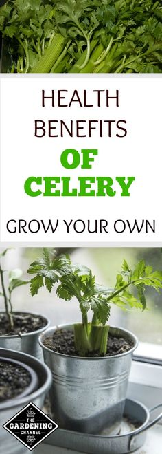 Learn the health benefits celery and try growing your own. Celery is a cool weather loving plant which thrives in the garden with temperatures between 60 and 70 degrees Fahrenheit.