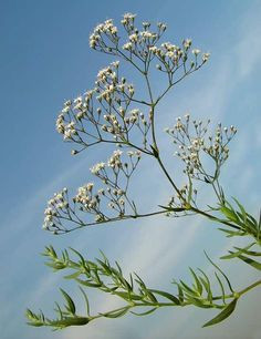Flower Names, Flower Art, Gypsophila, Dandelion, Vitamins, Plants, Vietnam, England, Google