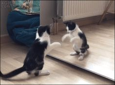 Meooow! Kitten plays with his reflection in the mirror.
