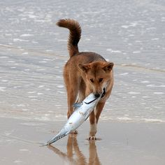 Which dogs are known to eat fish? Dingo! Dingos ancestors that were brought to Australia were relatively undomesticated and closer to wild Asian gray wolf. The dingo's diet includes bandicoots, rodents, echidnas, crabs, fruits, and other plants, as well as insects (mostly beetles). On Fraser Island, dignos often eat fish.