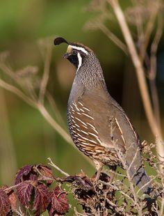 Brown Bird - California Quail - Chris Montano Jr Photography