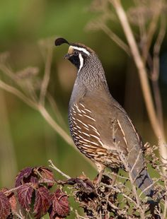 Brown Bird - California Quail - Chris Montano Jr Photography