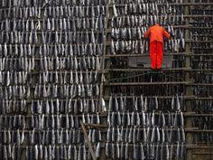 Jonas Bendiksen, Vesterålen, Norway.Hanging fish to dry.