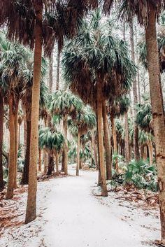 Palmetto Palm trees covered in snow in Savannah Georgia. Art pictures photographed by Kristen M. Brown, Samba to the Sea for The Sunset Shop.  lowcountry living, lowcountry marsh, lowcountry lifestyle, lowcountry savannah georgia, Savannah Georgia, Savannah GA, snow Savannah GA, snow Savannah Georgia, snow south, Palmetto Palms,  snow palm trees, Charleston, Charleston South Carolina, Charleston SC