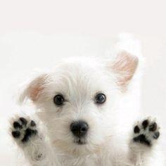 Westie. Those paws!!!