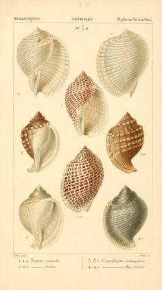 Malacozoaires, ou, Animaux mollusques