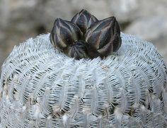 Monanthes Polyphylla | Turbinicarpus pseudopectinatus