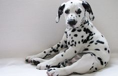 always had a soft spot for dalmatians (101 of them) - eventually they grow into their wrinkles.....so cute