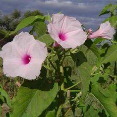 Imagens de flores Algodão-bravo