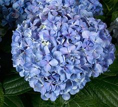 'Big Daddy' Hydrangea Hydrangea macrophylla 'Big Daddy' Pink in alkaline soils and blue in acidic soils, Big Daddy& huge blooms are as big as balloons at a child& birthday party. Perfect for flower arrangements. Shade Shrubs, Shade Plants, Garden Shrubs, Shade Garden, Pruning Hydrangeas, Hydrangea Macrophylla, Foundation Planting, Hydrangea Flower, Summer Flowers