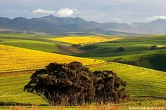 Canola fields - Overberg, South Africa
