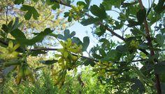 Kultaherukka - Ribes aureum - Golden currant
